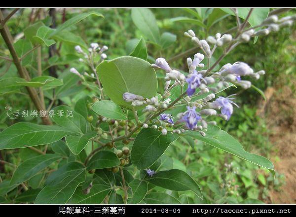 馬鞭草科-三葉蔓荊_08.jpg