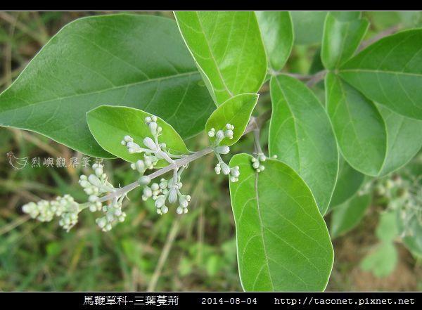 馬鞭草科-三葉蔓荊_09.jpg