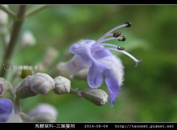 馬鞭草科-三葉蔓荊_07.jpg