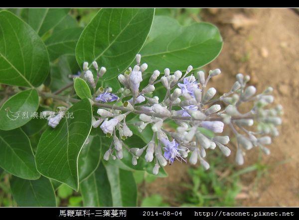 馬鞭草科-三葉蔓荊_10.jpg