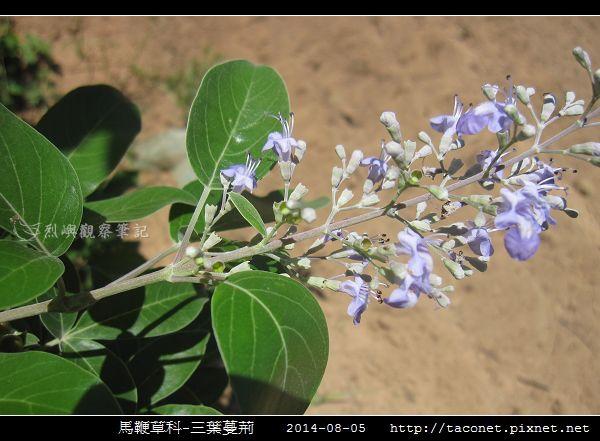 馬鞭草科-三葉蔓荊_13.jpg