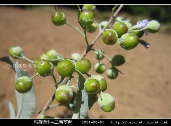 馬鞭草科-三葉蔓荊_14.jpg
