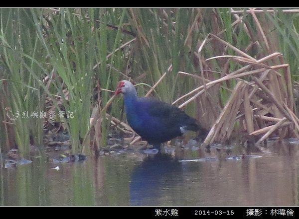 紫水雞_03.jpg