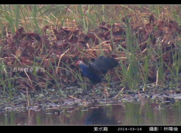 紫水雞_05.jpg