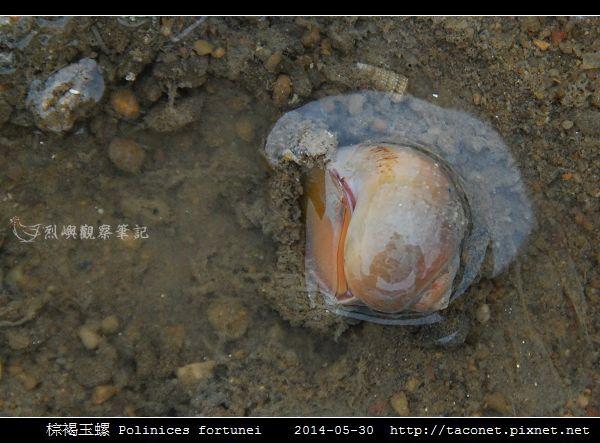 棕褐玉螺 Polinices fortunei _01.jpg