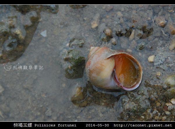 棕褐玉螺 Polinices fortunei _02.jpg