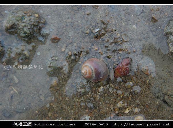 棕褐玉螺 Polinices fortunei _03.jpg