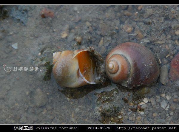 棕褐玉螺 Polinices fortunei _04.jpg