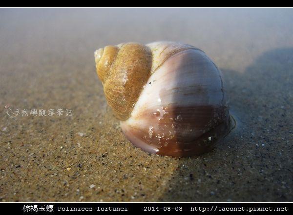 棕褐玉螺 Polinices fortunei _05.jpg