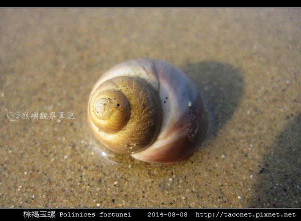 棕褐玉螺 Polinices fortunei _06.jpg