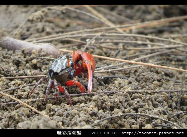 麗彩招潮蟹_05.jpg