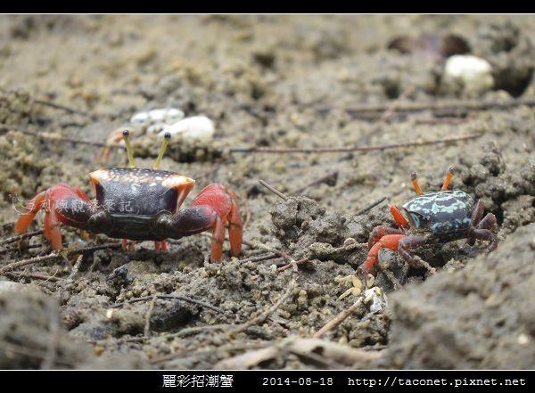 麗彩招潮蟹_07.jpg