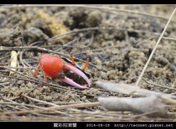 麗彩招潮蟹_08.jpg