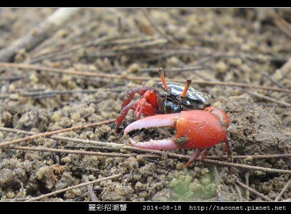 麗彩招潮蟹_09.jpg