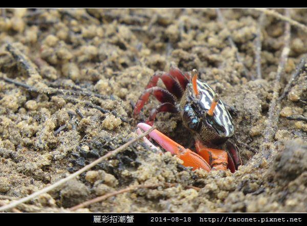 麗彩招潮蟹_12.jpg