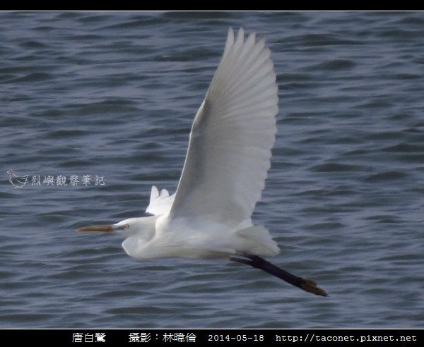 鷺科-唐白鷺_01.jpg