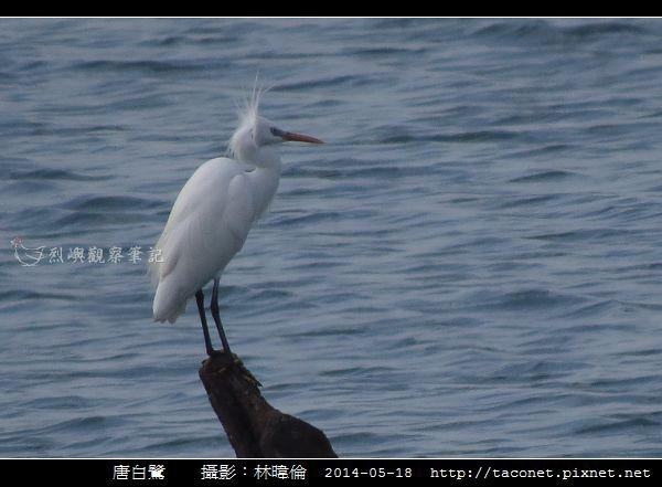 鷺科-唐白鷺_02.jpg