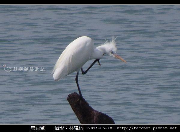 鷺科-唐白鷺_04.jpg