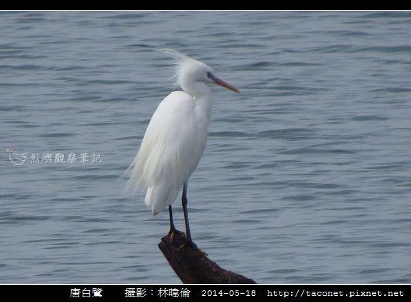 鷺科-唐白鷺_05.jpg
