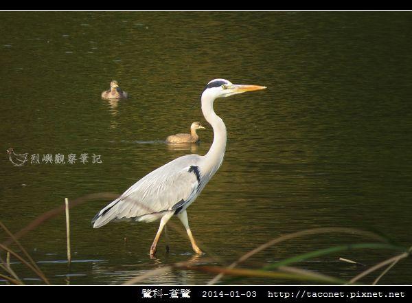 鷺科-蒼鷺_06.jpg