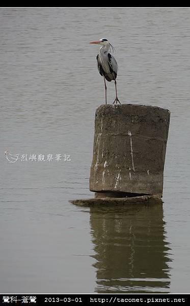 鷺科-蒼鷺_08.jpg