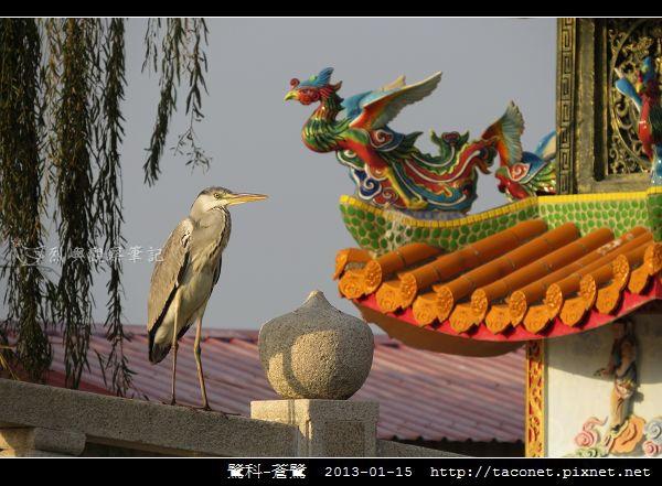 鷺科-蒼鷺_10.jpg