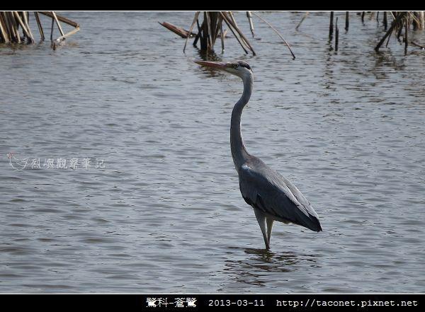 鷺科-蒼鷺_12.jpg