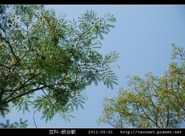 豆科-銀合歡_01.jpg
