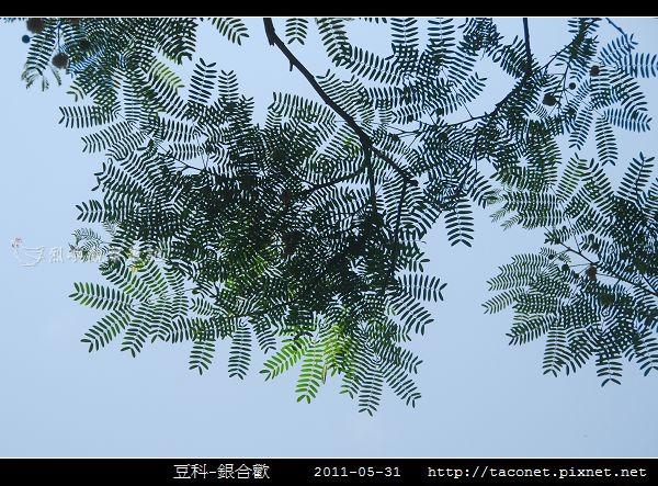 豆科-銀合歡_02.jpg