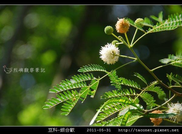 豆科-銀合歡_05.jpg