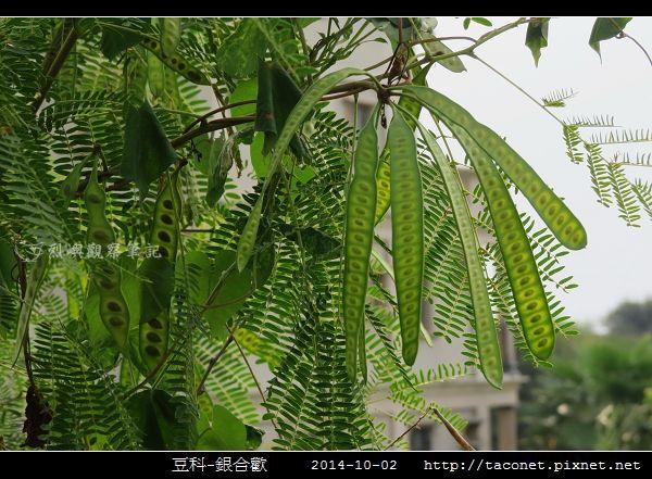 豆科-銀合歡_09.jpg