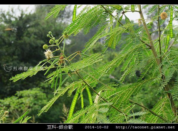 豆科-銀合歡_10.jpg