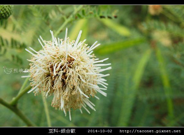豆科-銀合歡_11.jpg