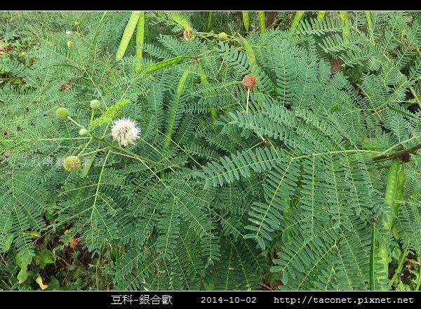 豆科-銀合歡_14.jpg