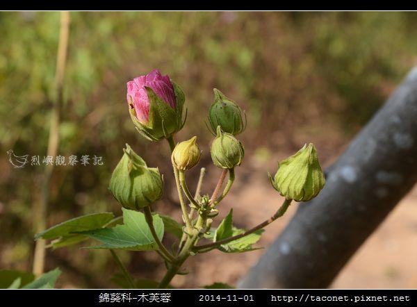 錦葵科-木芙蓉_01.jpg
