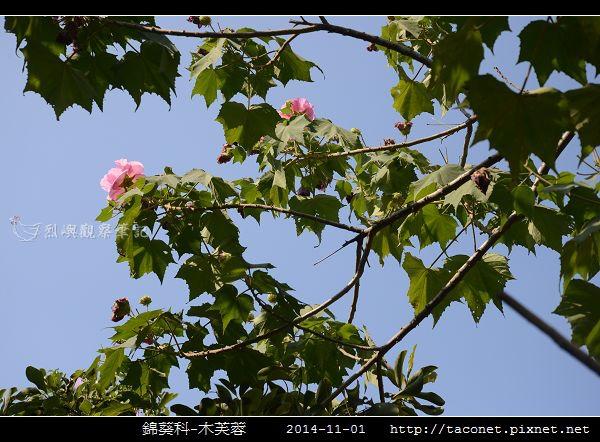 錦葵科-木芙蓉_07.jpg