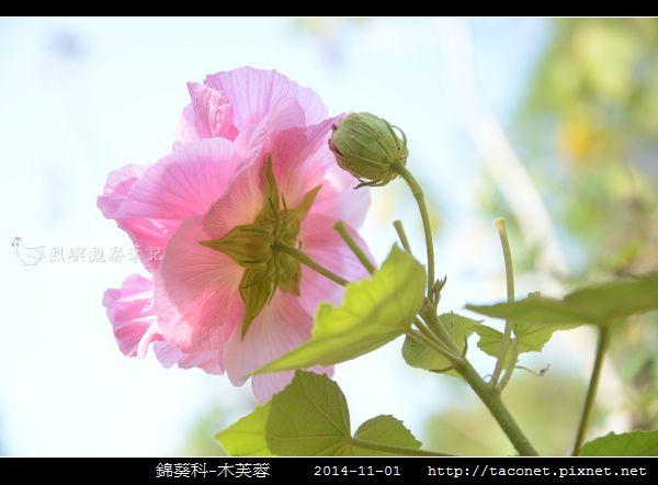 錦葵科-木芙蓉_09.jpg