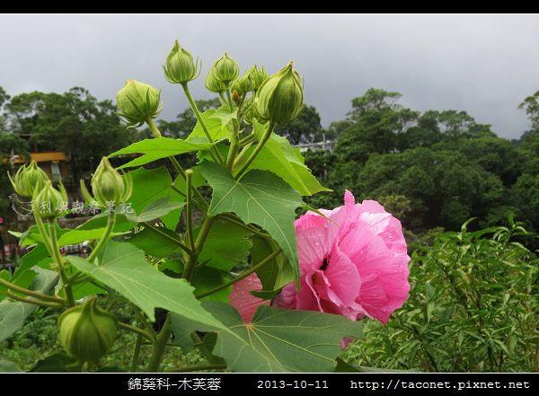 錦葵科-木芙蓉_13.jpg