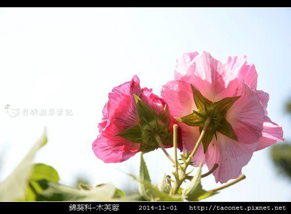 錦葵科-木芙蓉_12.jpg
