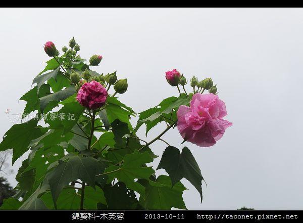 錦葵科-木芙蓉_15.jpg