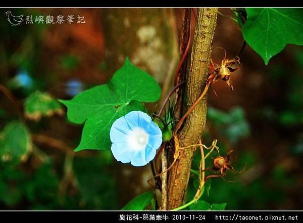 旋花科-葛葉牽牛-02.jpg