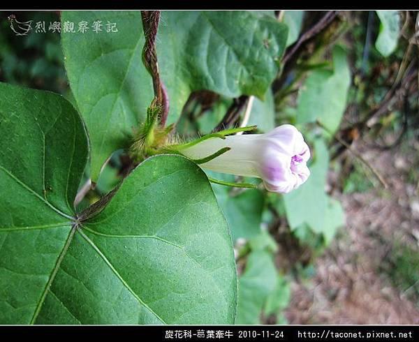 旋花科-葛葉牽牛-05.jpg