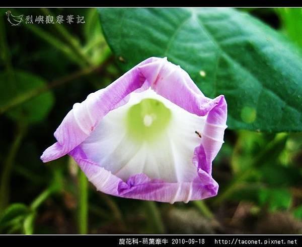 旋花科-葛葉牽牛-06.jpg