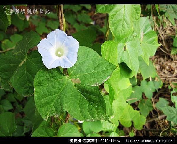 旋花科-葛葉牽牛-07.jpg