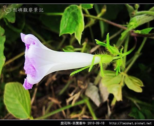 旋花科-葛葉牽牛-08.jpg