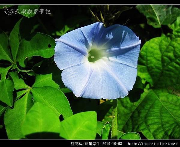 旋花科-葛葉牽牛-09.jpg