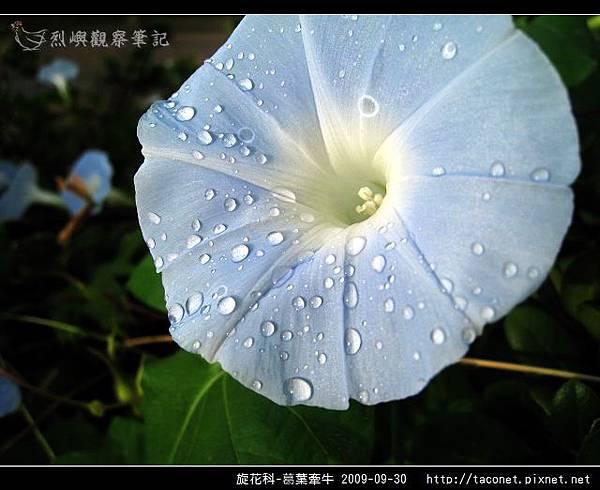 旋花科-葛葉牽牛-14.jpg