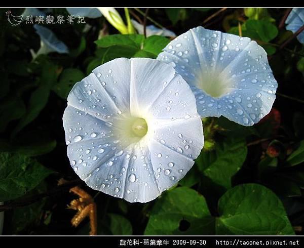 旋花科-葛葉牽牛-15.jpg