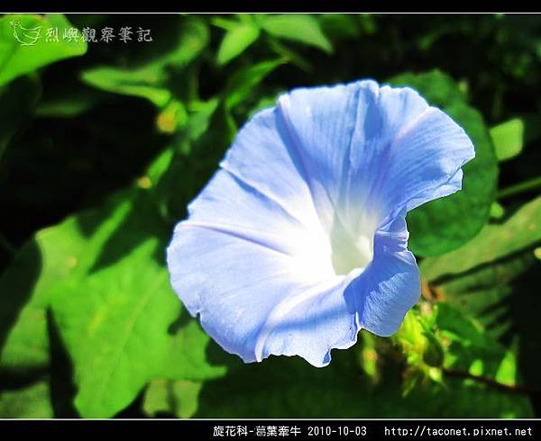 旋花科-葛葉牽牛-16.jpg