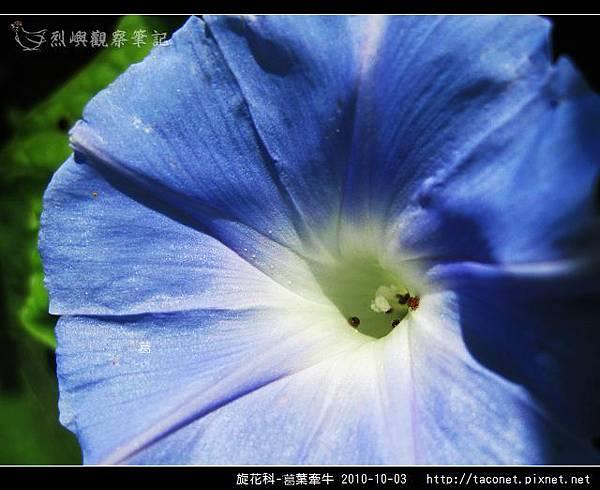 旋花科-葛葉牽牛-17.jpg